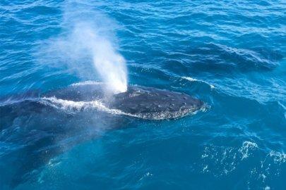 Les baleines à Moreton Island dans la région Queensland en Australie